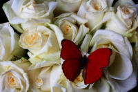 1-red-butterfly-on-white-roses-garry-gay